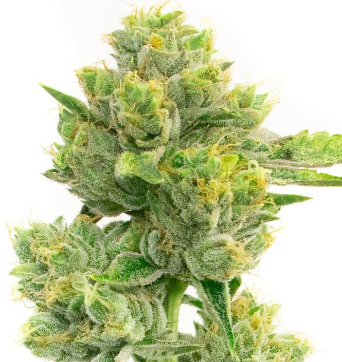 Afghan Hawaiian Cannabis Strain