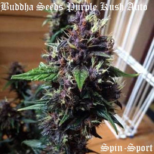 Buddha Seeds Purple Kush Auto