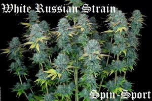 White Russian Strain
