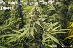 Cannabis Flowering Time Lapse Photos